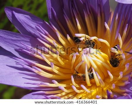 honey bees sucking nectar from purple lotus close up - stock photo
