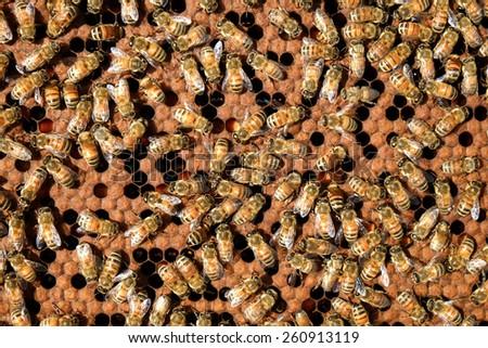 Honey comb with bee  - stock photo