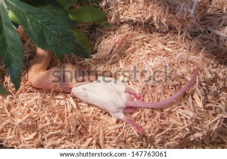 honey corn snake eating a dead rat - stock photo