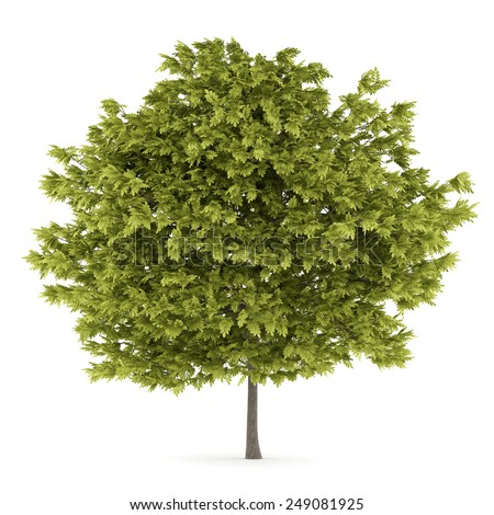 honey locust tree isolated on white background - stock photo