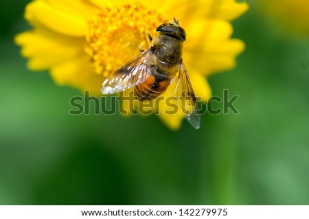 honey production is in Chrysanthemum