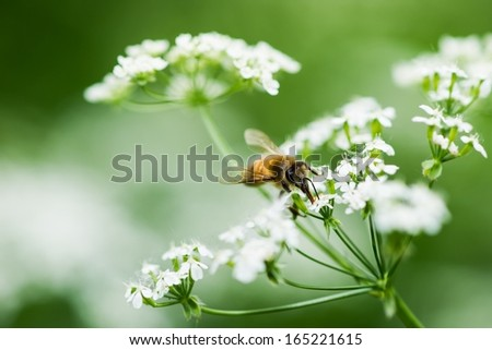 Honey Season. A closeup view of a honey bee gathering the honeydew from a tiny wildflower. Macro photography. Green, white and yellow colors, dominant green hue. - stock photo