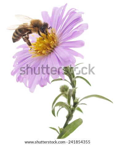 Honeybee and blue flower head isolated on a white background  - stock photo