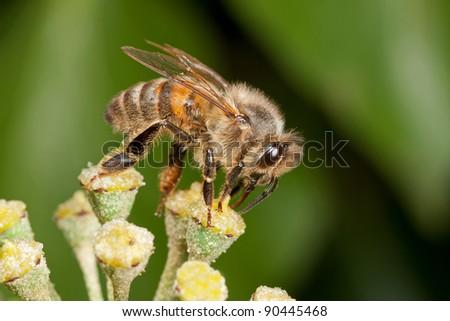 Honeybee - Apis mellifera - on an ivy flower - stock photo