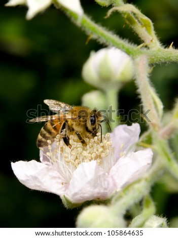 honeybee collecting nectar - stock photo