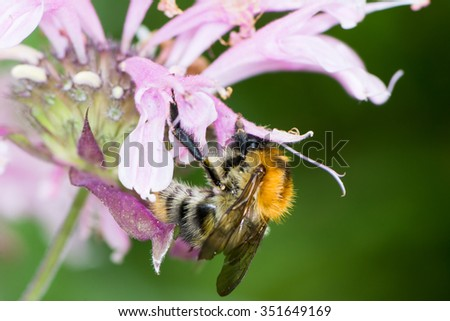 Honeybee collecting nectar on a flower - stock photo