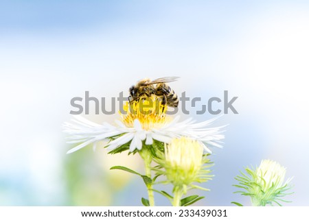 Honeybee collecting nectar on a white aster flower. - stock photo