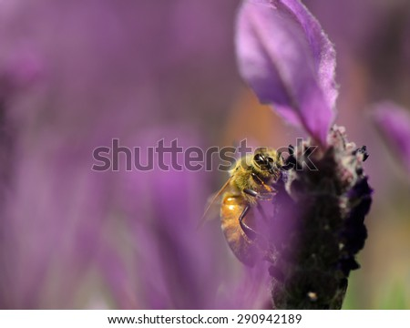 Honeybee collecting nectar on lavender flowers - stock photo