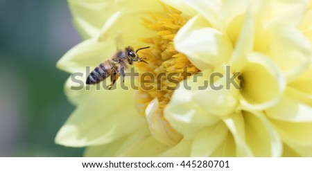 Honeybee collecting pollen from yellow dahlia flower - stock photo