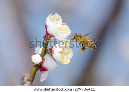 Honeybee collecting pollen on plum - stock photo