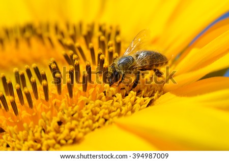 Honeybee collects nectar on the flowers of a sunflower - stock photo