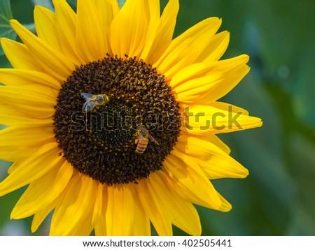 Honeybee Covered in Pollen in a Sunflower - stock photo