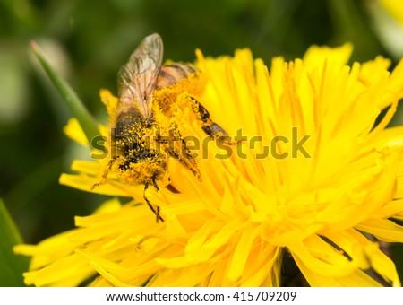 Honeybee covered in pollen on dandelion - stock photo