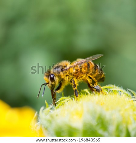 Honeybee drinking nector from yellow daisy flower - stock photo