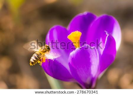 Honeybee flying to a purple crocus flower - stock photo