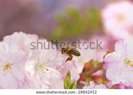 Honeybee flying to pink cherry blossoms