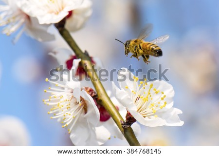 Honeybee flying to plum flower - stock photo