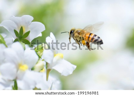 Honeybee flying to white Nemesia flower - stock photo