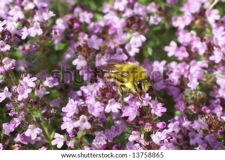 Honeybee gathering pollen from spring thyme flowers,			Seattle, Pacific Northwest - stock photo