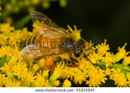 Honeybee in yellow flowers - stock photo