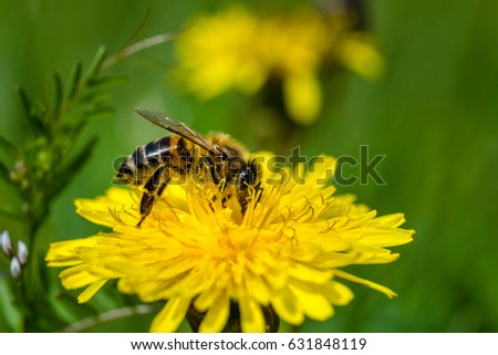 Honeybee on a Dandelion