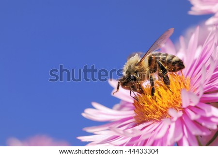 Honeybee on a pink aster flower - stock photo