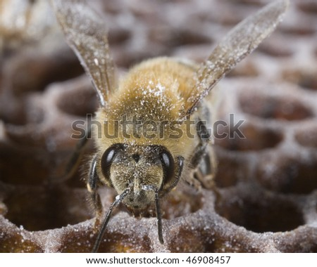 Honeybee on honeycomb being treated with sugar for Varroa mite infestation - stock photo