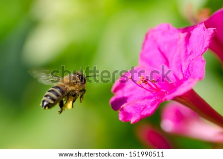 honeybee pollinated of flower - stock photo