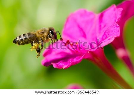 honeybee pollinated of flower - stock photo
