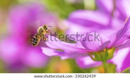 Honeybee pollinating pink cosmos flower. - stock photo