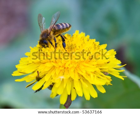 Honeybee sitting on the yellow flower - stock photo