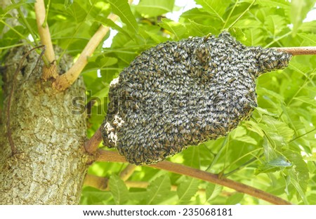 Honeybee swarm hanging at tree in nature - stock photo