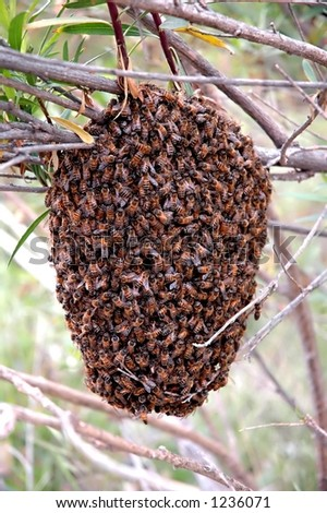 Honeybee swarm hanging from a branch - stock photo