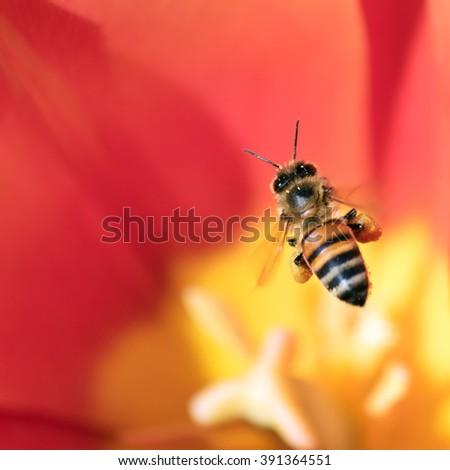 Honeybee with pollen basket flying over red tulip flower - stock photo
