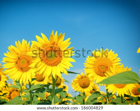 Honeybees on sunflower - stock photo