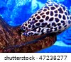 Honeycomb Moray Eel - stock photo