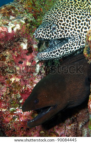 Honeycomb moray (top) Gymnothorax favagineus Giant moray (bottom) |Gymnothorax javanicus Maldives Indian Ocean - stock photo