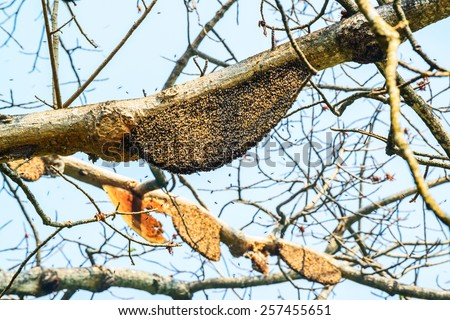 Honeycomb or beehive on the big tree in forest - stock photo