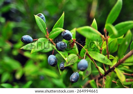 Honeysuckle berries growing on the green branch wirh bright green leaves, leafs. Blue fresh berries on green plant. Plant shoot with blue berries and green leafs. Nature garden with branch and leaves. - stock photo