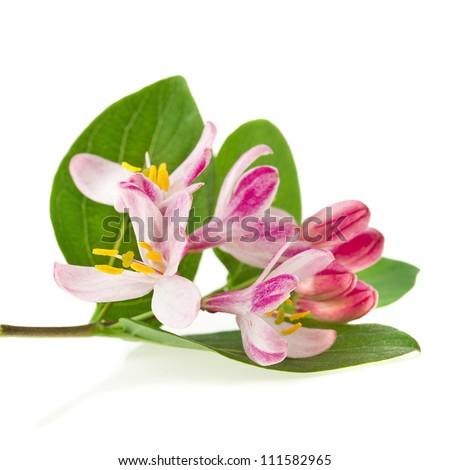 honeysuckle blossom (Lonicera tatarica ) close up isolated on white background - stock photo