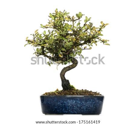 Honeysuckle bonsai tree, Lonicera caprifolium, isolated on white - stock photo