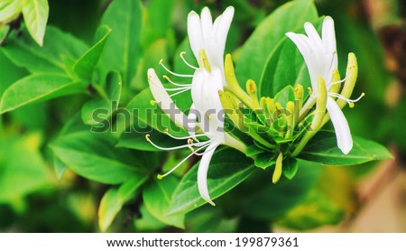 Honeysuckle flowers - stock photo
