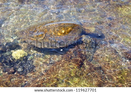 Hono, green sea turtle swimming in shallow tide pool, Kaloko Honokohau National Historical Park,  Hawaii - stock photo