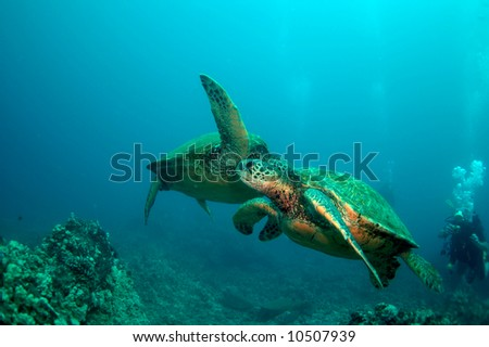 Honu(Hawaiian Green Sea Turtle)