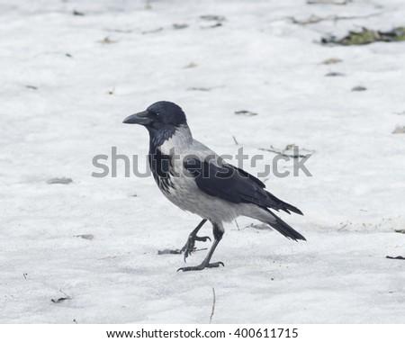 Hooded Crow , Corvus cornix, portrait on snow early spring closeup, selective focus, shallow DOF - stock photo