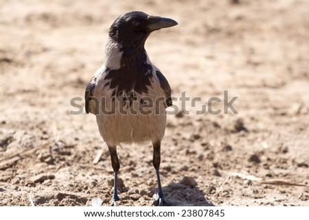 hooded crow sitting on a drass