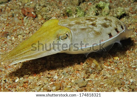 Hooded Cuttlefish (Sepia prashadi) - stock photo