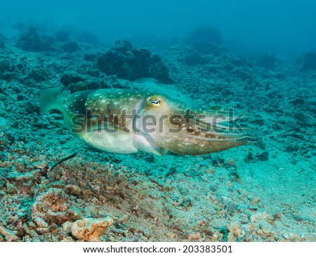 Hooded Cuttlefish swimming over a broken coral sea bed - stock photo