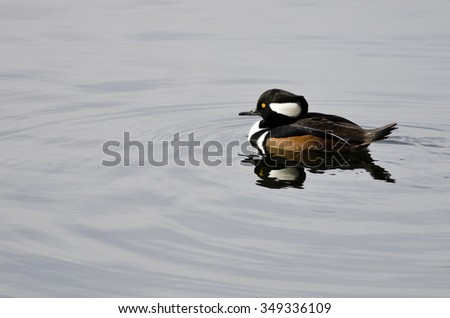 Hooded Merganser Swimming in the Still Pond Waters
