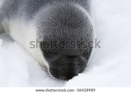 Hooded seal pup (Cystophora cristata) in the Canadian Arctic